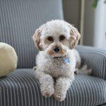 Come minimizzare la perdita di peli del vostro cane